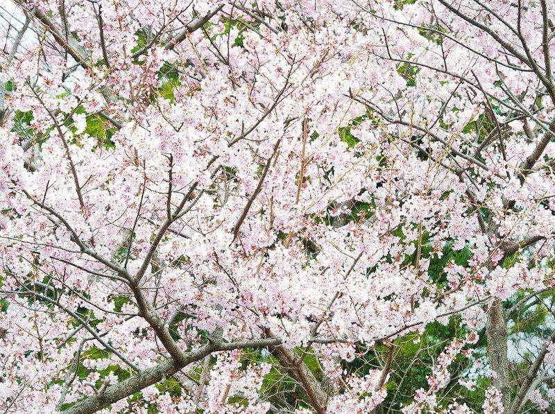 Cherry blossoms in Jeju Island