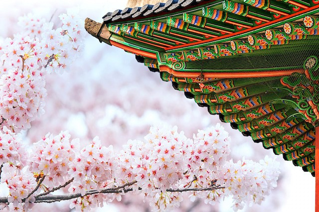 Gyeongbokgung Palace With Cherry Blossom