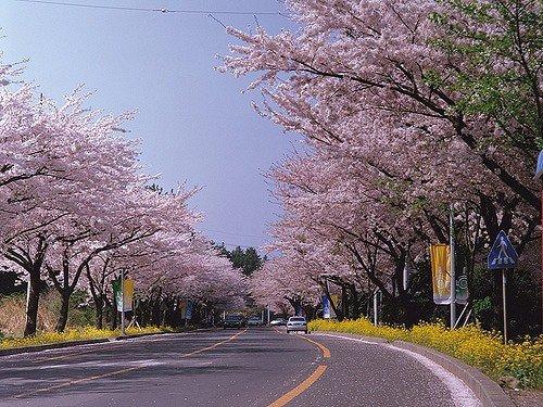 Jeju King Cherry Blossom