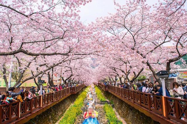 Jinhae Gunhangje Festival in Korea