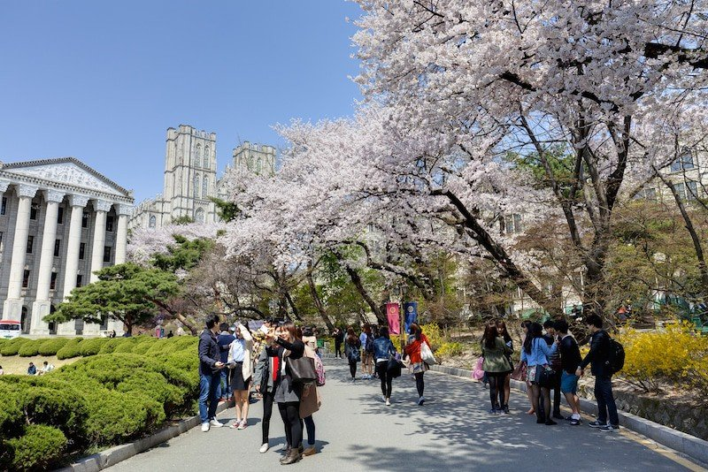 Cherry Blossoms at KyungHee University