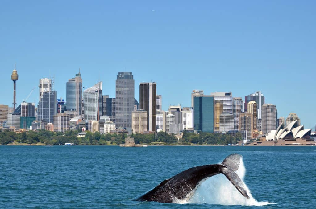 View of Sydney, Australia skyline with a whale diving back into the ocean