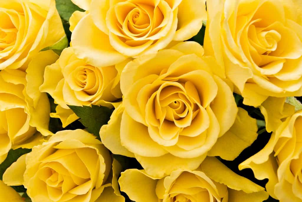 Many yellow roses