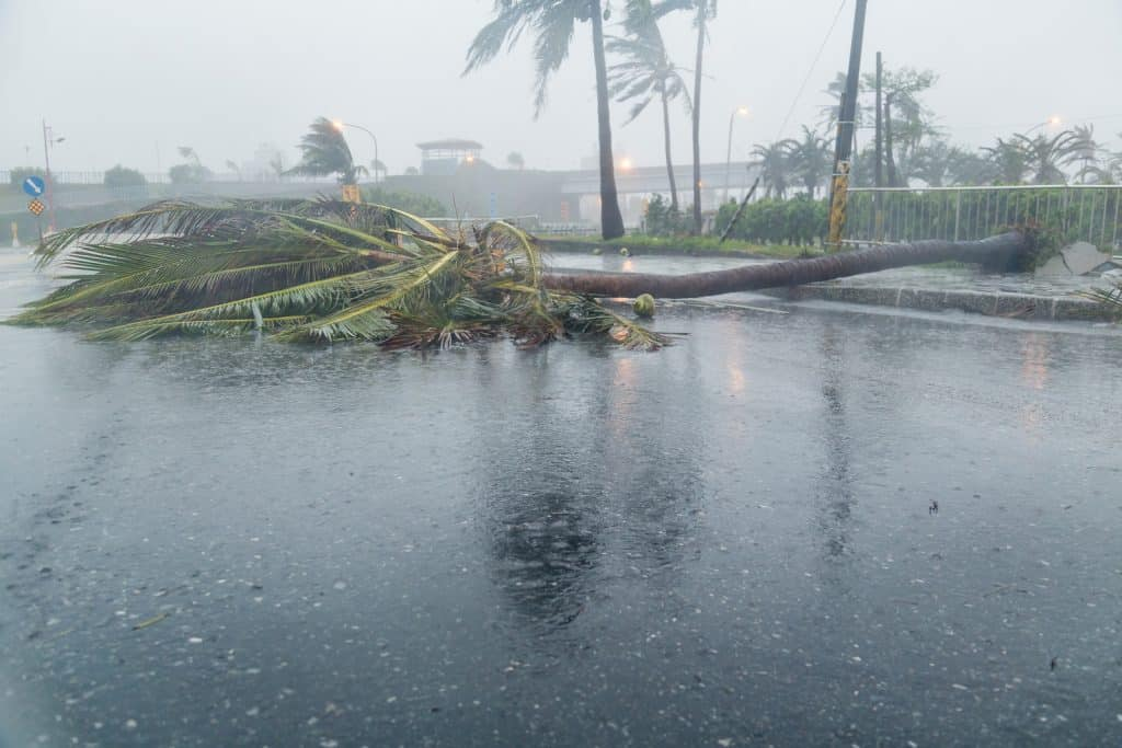 Palm tree knocked down from a storm